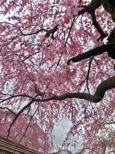 桜を見に日帰りで京都へ