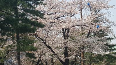 いつもの韓国1人旅 今日は韓国でサクラを愛でよう!!(南山公園と汝矣島公園)