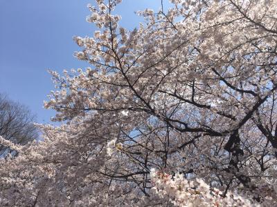 代々木公園お花見