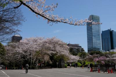 増上寺でこんなに美しい桜を見られるとは 下