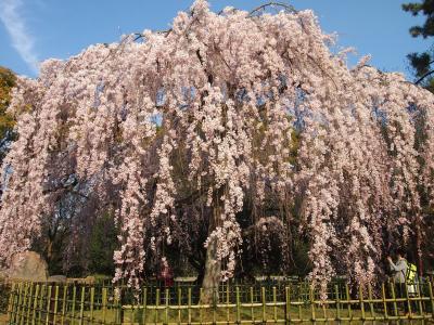 青春18きっぷの旅 2017年春 桜を求めて京都へ 〈4〉 ~鴨川・本能寺・京都御苑~