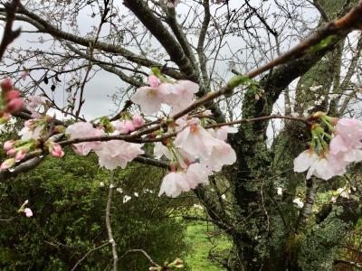いつもの九州、今年は花曇り。