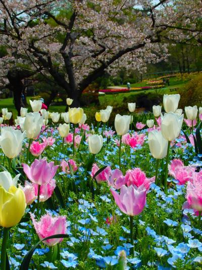 ☆春のお散歩♪舘山寺温泉&浜名湖花フェスタ★浜松フラワーパーク★世界一美しい「桜とチューリップの庭園」2017☆