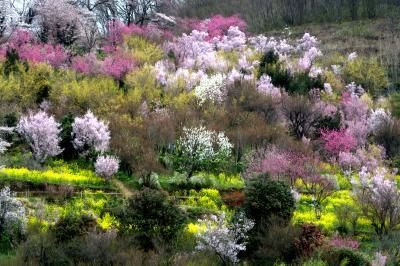「福島に桃源郷あり」の花見山、飯坂温泉に宿泊。