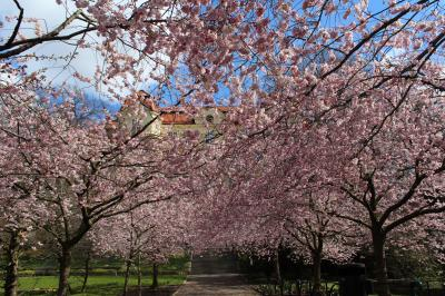 ヨーテボリの桜 Seminarieparken