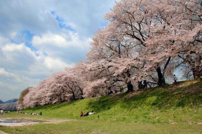 八幡桜風情5~八幡桜まつり後に満開の背割堤桜並木