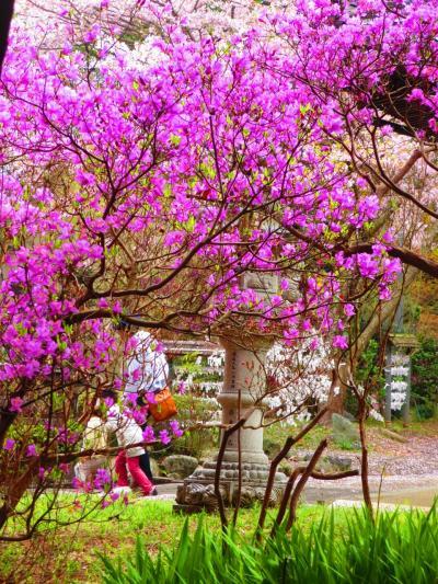 伊奈冨神社のムラサキツツジがきれいと聞き見てきました。(鈴鹿市)