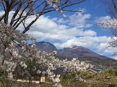 満開の桜を見に行きました