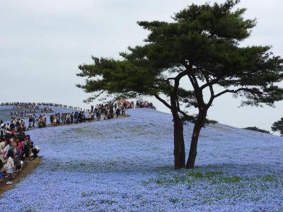 はとバスで行く☆ネモフィラと大藤の花盛りツアー!