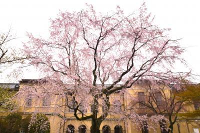ひとりお花見部2017 その4 二日目後半は蓮花寺~京都府庁~北野をどり~嵐電桜のトンネル