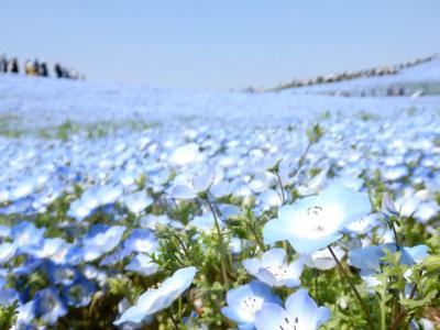 空色の絶景☆ネモフィラハーモニーとカラフル!チューリップ―春のひたち海浜公園