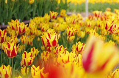 世羅高原で花まつり チューリップ・芝桜・ネモフィラ♪