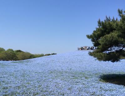 2017年4月 青い絨毯~ネモフィラ~を見にひたち海浜公園へ(その1)