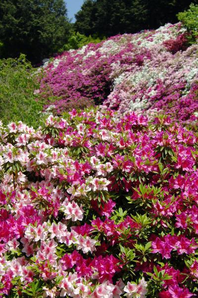 京都宇治三室戸寺の躑躅園