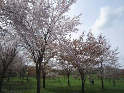 北海道は、まだまだ桜お花見中!鷹栖町パレットヒルズ♪