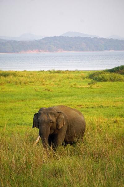 灼熱のスリランカ(5) ポロンナルワ遺跡見学の後にミンネリア国立公園で野生の象に出合う。