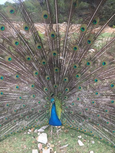子連れでヨーロッパ:魅惑のクロアチア・モンテネグロ☆③ブドヴァ・コトルに孔雀の楽園ロクルム島