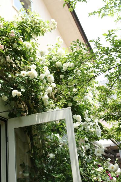 イングリッシュガーデンへの誘い♪ bouquet.de.feliciaさん&bluemoon-cottageさん オープンガーデンに訪問して♪