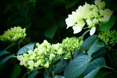 江の島・鎌倉、横浜1泊ひとり旅(前編)~紫陽花が咲き始めた長谷寺