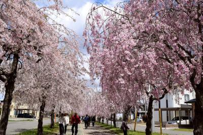 会津~猪苗代周辺の花見