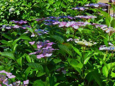 紫陽花咲く藤森神社のあじさい祭