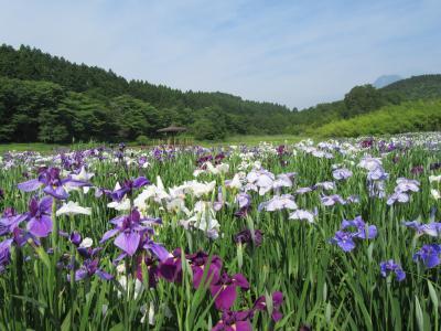 奥別府 神楽女湖(かぐらめこ)の菖蒲はみごとでした