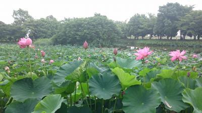 2017年7月 2泊3日の東北夫婦旅その1☆東北に向かう前に埼玉県行田市・古代蓮の里で蓮の花を見て忍城を観光し、行田市のご当地グルメ・ゼリーフライを頂く☆