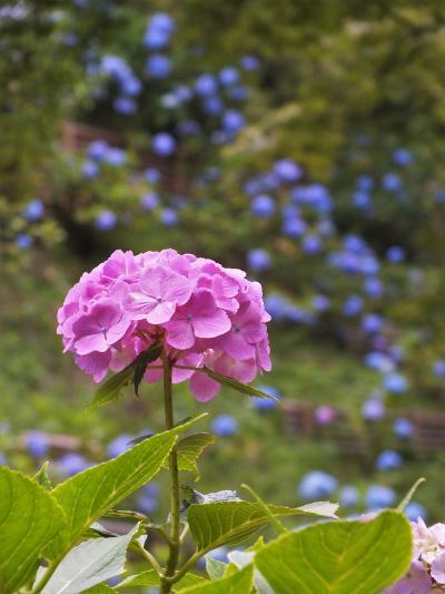 神戸森林植物園の「森の中のあじさい散策」