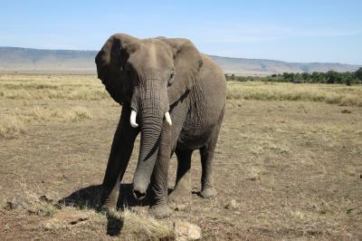ビッグ5(ライオン、ヒョウ、ゾウ、サイ、バッファロー)を目指してマサイマラへ