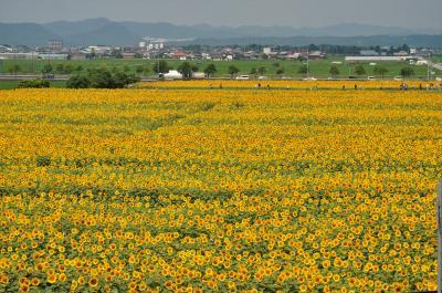 38万本のヒマワリが見頃の小野・ひまわりの丘公園