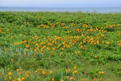 サロベツ原野オロロンラインを橙と黄色に染めるお花畑(北海道)