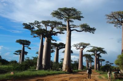 マダガスカル探訪、モロンダバ