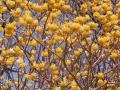 【西丹沢】ミツバ岳でミツマタを見ようの巻