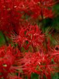 【花】巾着田 曼珠沙華公園