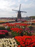 『「春色!に 染まる・・・千葉・佐倉」を ミニ・ドライブ旅!しましょ。』ーーー「オランダ風車 と チューリップ」」 そして 「ランチ・・・は、お洒落!な イタリアン・レストラン」