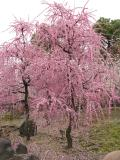 城南宮の枝垂れ梅。豪華絢爛。ハッと息をのむその美しさ!!  それから大阪府交野市のほしだ園地の星のブランコへ行きました。