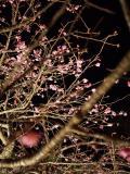 日本一早い桜を見に沖縄へ
