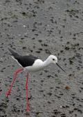 野鳥撮影記録(2016年7月⑦)川~干潟