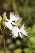 涼し気なサギソウやヒゴタイが咲く六甲高山植物園