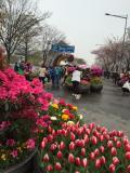 ソウルでお花見 「汝矣島 春の花祭り」