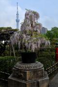 亀戸天神フジの花