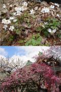 京都の春を求めて…「府立植物園と北野天満宮」