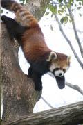 早春の梅の森林公園と埼玉こども動物自然公園(後編)動物園編:レッサーパンダはラブラブか?~ハナビちゃんが目覚めたら嬉しそうに見えたソウソウくんだけど~同居しているキリンのステップちゃん&新しくなったマヌルネコ舎&ペンギンヒルズの遊び好きなペンギンほか