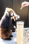 春の動物園まつり前の日本平動物園レッサーパンダ日帰り遠征(2)レッサーパンダ特集:楽しみにしていたまつばちゃん・ホーリーちゃんとタクくん・ホーマーちゃんの同居&換毛が始まっていたけど恋鳴きもしていたヤマトくん&非展示だけど元気そうだったスミレちゃん