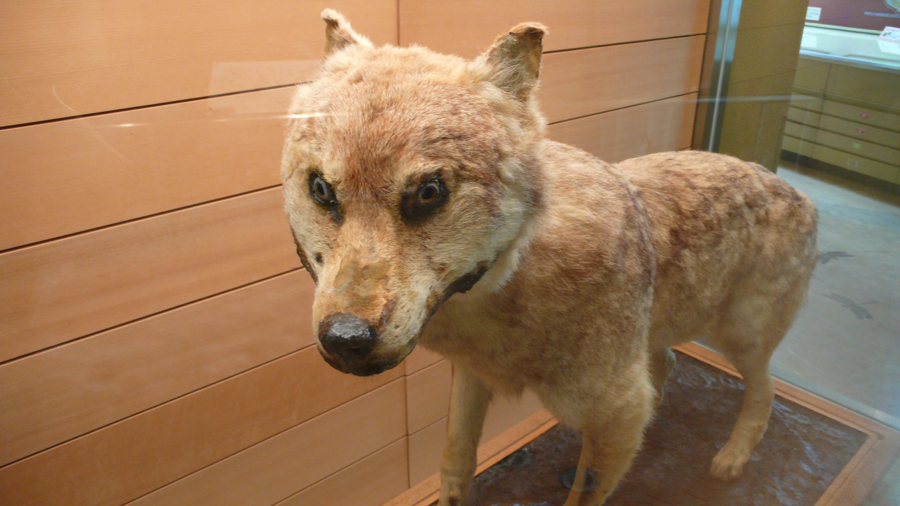ニホンオオカミの画像 p1_2