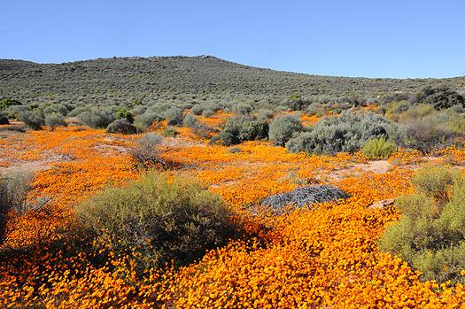 南アフリカ、花の旅(2): ナマクアラ...