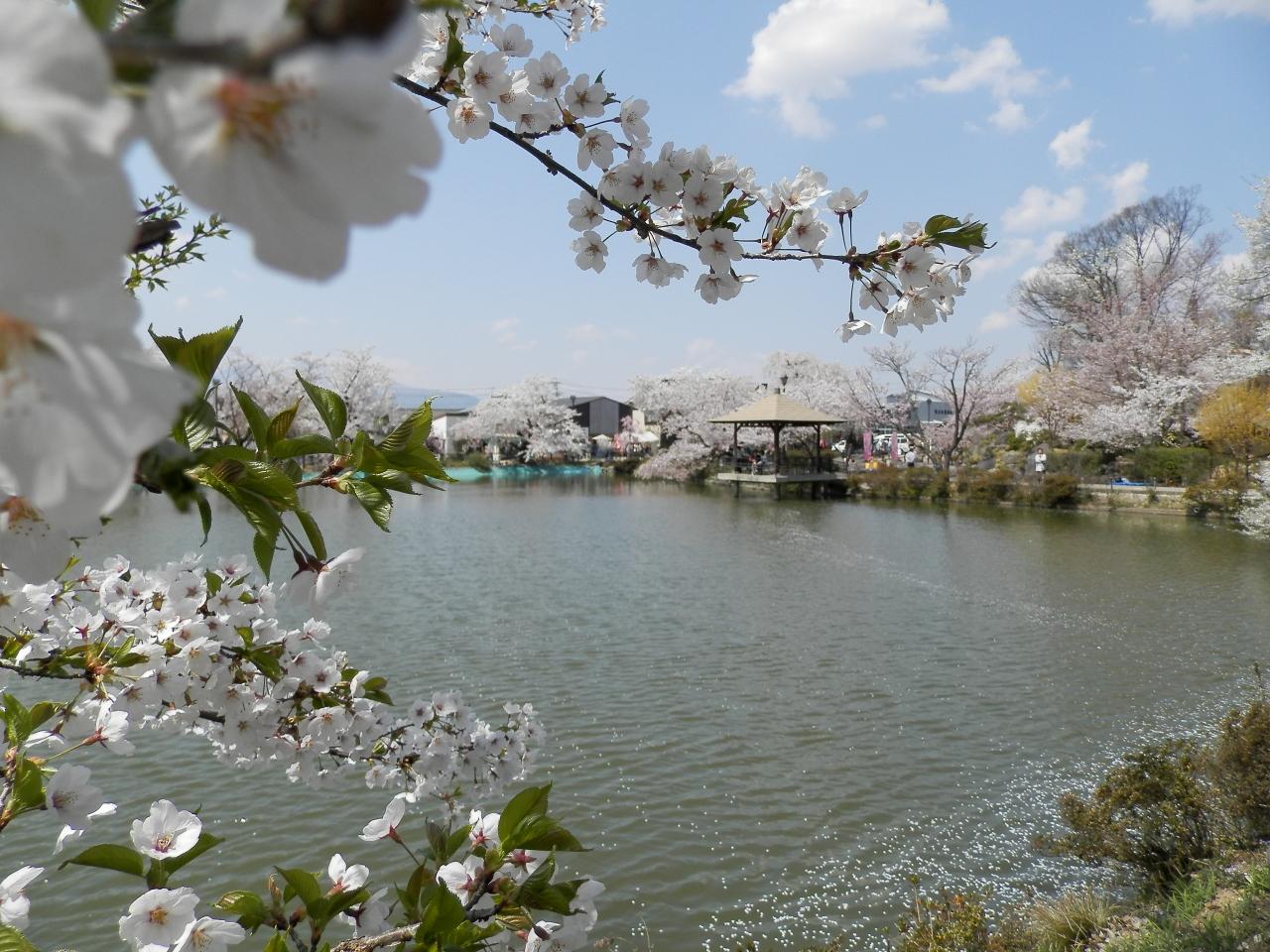 2014年!臥竜公園、桜祭りに行きました♪