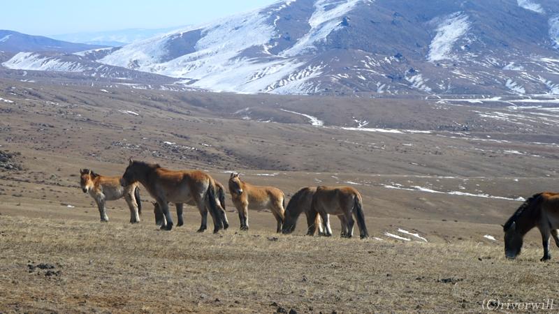 世界最後の野生馬タヒが生きる、大自然の...