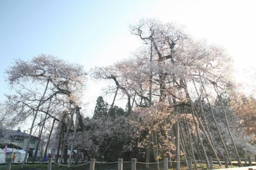 置賜桜回廊  樹齢500年以上の桜が一杯