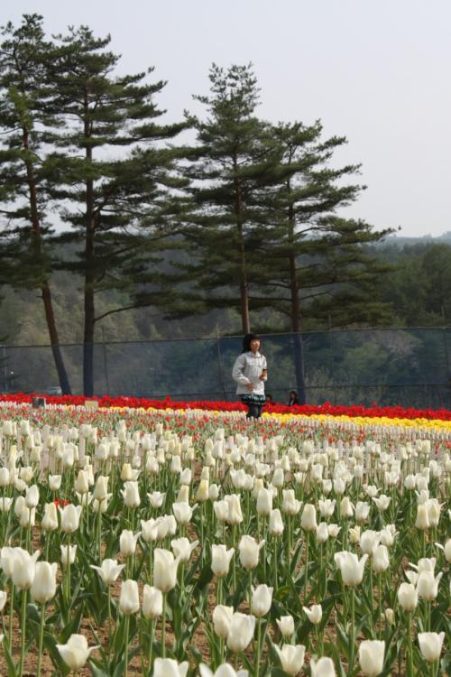 岩手県軽米 チューリップ園